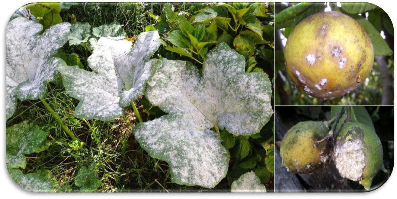 Avversità Delle Piante Coltivate le avversitÀ delle piante causate da patogeni: i funghi