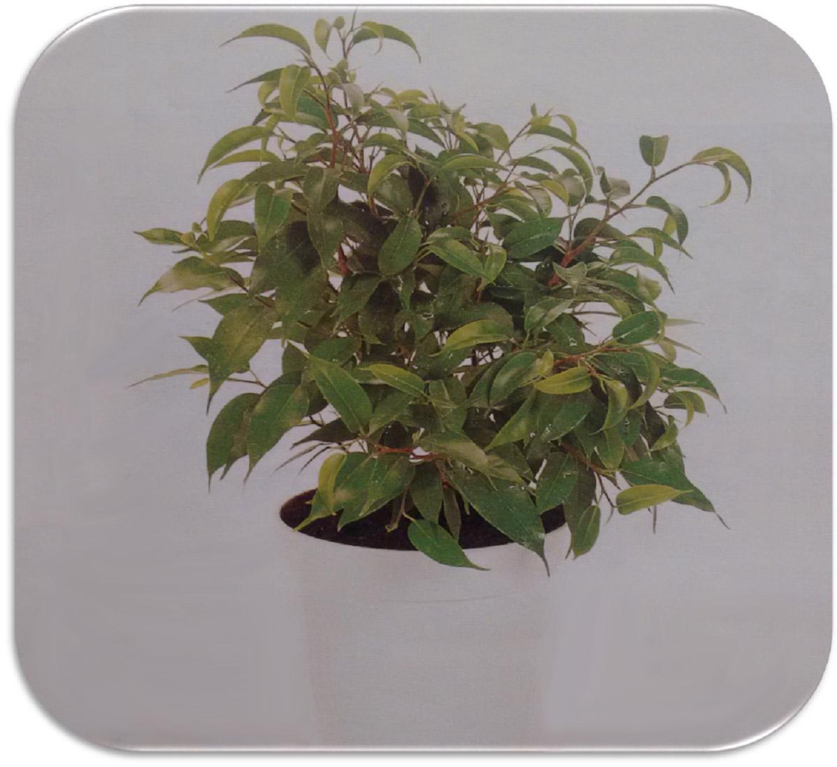 "Ficus Benjamin Perde Foglie beniamino ""lucie""   germoglioverde"
