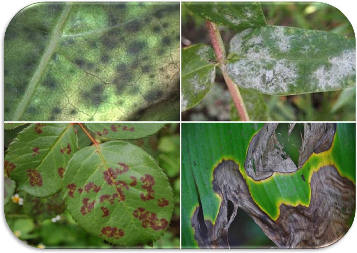 Avversità Delle Piante Coltivate la diagnosi delle malattie delle piante | germoglioverde